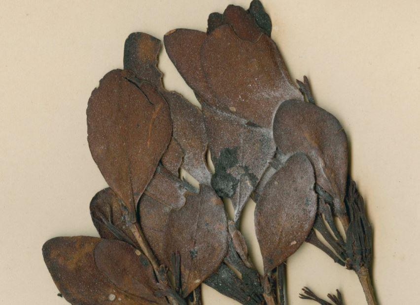 Adam's mistletoe (Trilepidea adamsii)