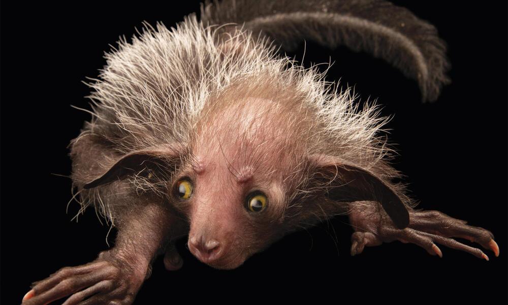 Aye-Aye - ugliest animals