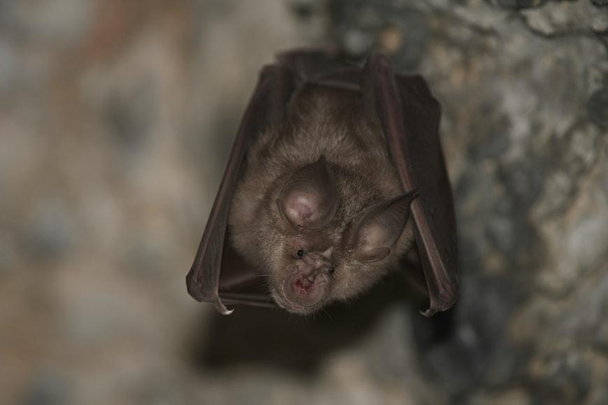 Horseshoe bat - ugliest animals