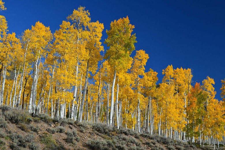 Pando tree - oldest trees
