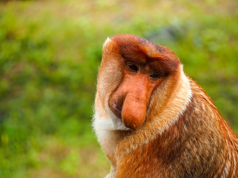 Proboscis Monkey - Ugliest animals