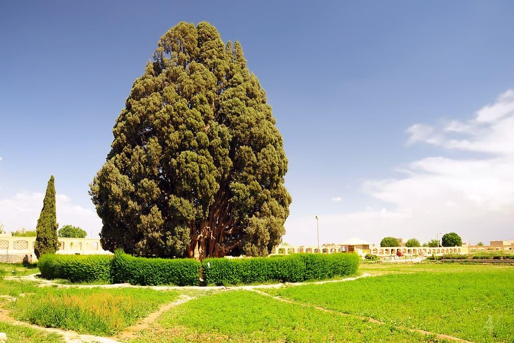 Sarv-e Abarkuh - oldest trees