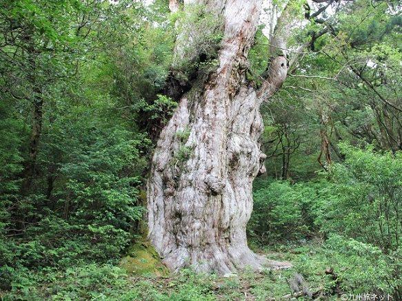 Jomon Sugi - oldest trees